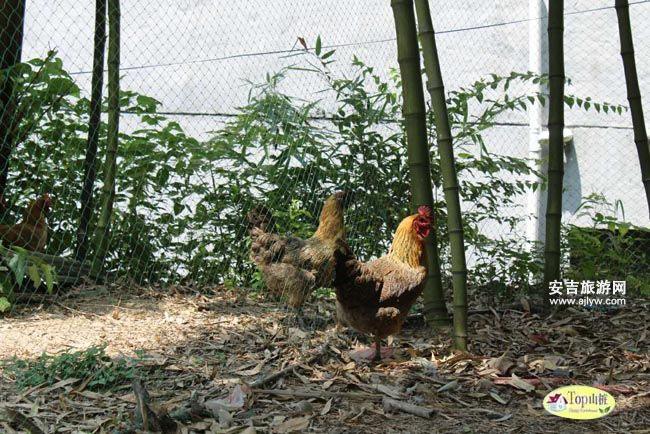 天荒坪农家鸡